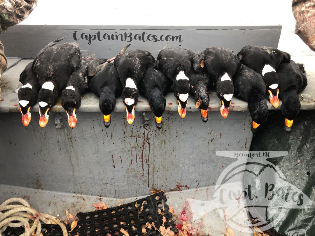 Ended the last two days of the split with some awesome shooting and some trophy birds for wall! Good company and good shooters!  The Skunkheads are here!!  I have some availability for the sea duck season, give me a call to discuss options. It can be very weather dependent, but can be a great time to get your trophy scoters! 252-497-6981. Captainbates.com Core Sound Layout Boats Southern Flyway Outfitters