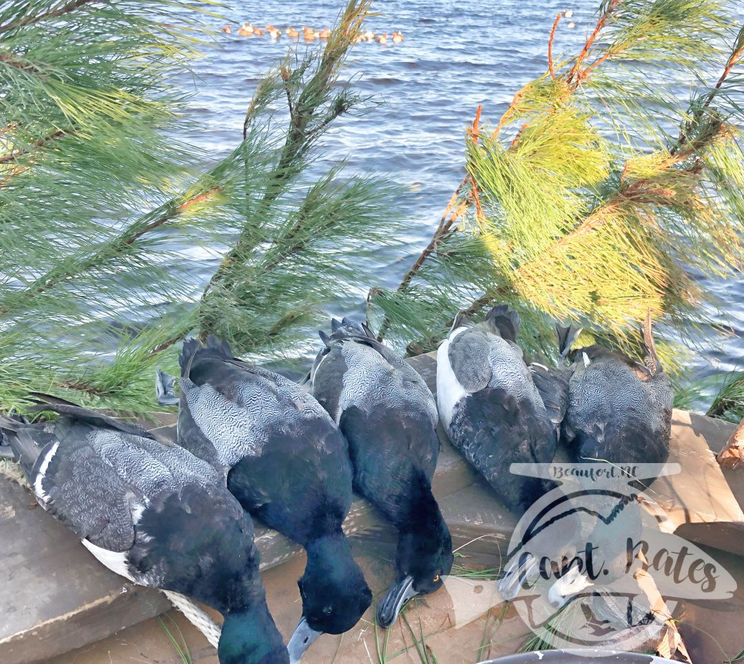 Nice bag of blackhead drakes with the Southern flyway Outfitters Decoy Raft in the background that pulls em in!